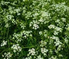 Anis vert <i>(pimpinella anisum)</i>