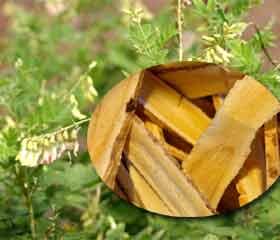 Astragale <i>Astragalus membranaceus</i>