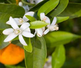 Bigaradier (citrus aurantium ssp amara)