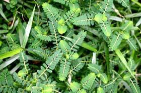 Chanca Piedra (phyllanthus niruri)