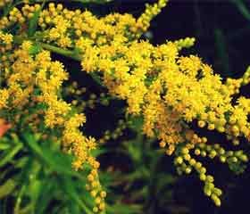 Verge d'or <i>(Solidago)</i>