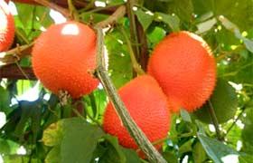 Le gac, le fruit du paradis, un nouveau superfruit à découvrir
