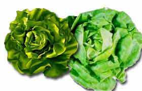 La laitue, pas juste de la salade